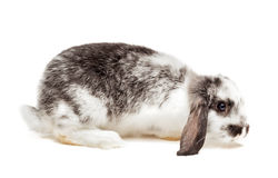 Baby Bunny Isolated On White Stock Images