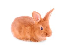 Baby bunny isolated on white Stock Photography