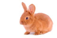 Baby bunny isolated on white Royalty Free Stock Images
