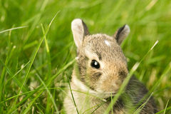 Baby Bunny Rabbit in grass Stock Photography