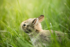 Baby Bunny Rabbit in grass Royalty Free Stock Photo