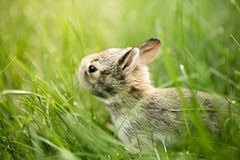 Baby Bunny Rabbit in grass Royalty Free Stock Images