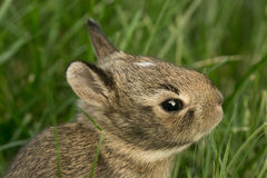 Baby Bunny Rabbit in grass Stock Photo