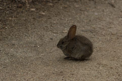 Baby bunny rabbit, Sylvilagus bachmani, wild brush rabbit on a hiking path in Irvine, Southern California in Spring Royalty Free Stock Images