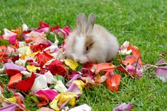 Rabbit in rose petals royalty free stock photo