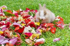 Rabbit in rose petals. Baby bunny on rose petals in the grass in Ecuador stock photography