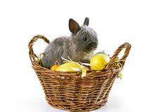 Cute baby bunny in basket for Easter. Baby bunny sitting in baskted with Easter eggs on white table. Isolated Stock Image