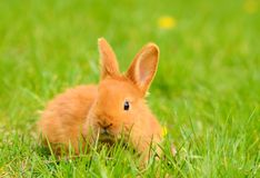 Baby bunny sitting in spring grass Royalty Free Stock Photo