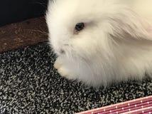 Baby bunny Royalty Free Stock Image