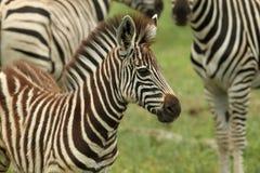 Baby Burchells Zebra Royalty Free Stock Image