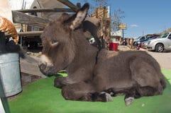 Baby Burro Stock Image