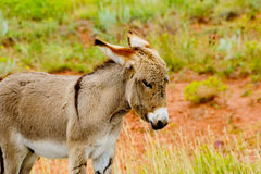 Baby Burro Royalty Free Stock Images