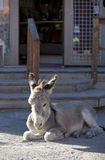 Baby Burro Resting on Street Stock Photo