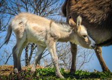 Baby Burro Searching for Milk Royalty Free Stock Photography