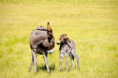 Baby Burro in Trouble. A mother and baby burro standing in a field of grass Royalty Free Stock Photos
