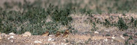 Burrowing Owl babies stand outside their nest burrow in southern Colorado Stock Photos