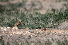 Burrowing Owl babies stand outside their nest burrow in southern Colorado Royalty Free Stock Photo