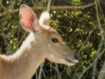 Baby Bush buck. A close up view of a baby Bush buck in bushes royalty free stock photography