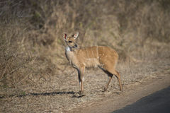 Baby Bush Buck Stock Photo