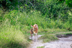 Baby Bushbuck and mother on a dirtroad. Royalty Free Stock Photo