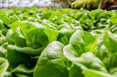 Baby-butterhead lettuce Royalty Free Stock Image