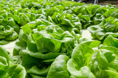 Baby-butterhead lettuce Stock Photography