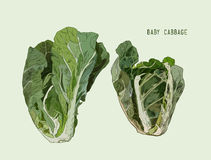 Baby Cabbage. Vector hand drawn vegetables isolated . Vegetables fresh Stock Images