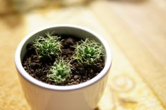 Baby cactus happily growing royalty free stock image