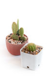 Baby cactus Stock Photography