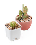 Baby cactus Royalty Free Stock Photos