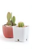 Baby cactus Royalty Free Stock Photo