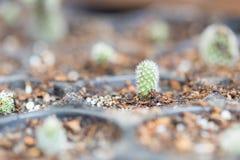 Baby Cactus in pot stock image