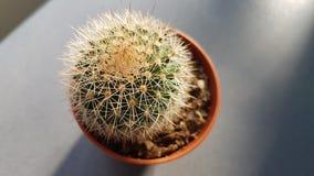 Baby cactus in sunrise stock photo