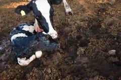 Baby Calf Stock Photos