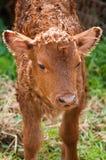 Baby calf Stock Photo