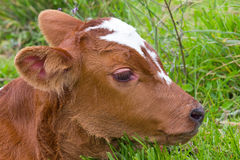 Baby calf. Closeup of a brown baby cow calf Royalty Free Stock Photo