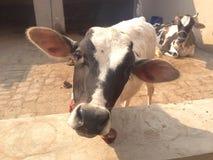 A baby calf Stock Image