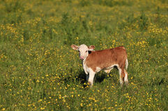 Baby calf in the field Royalty Free Stock Images