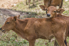 A baby calf. On grass field Stock Photography