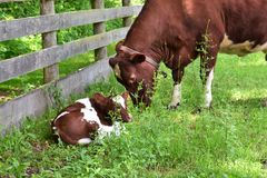 Baby calf with mama cow. Baby calf laying in the green grass while mama cow grazes really close by royalty free stock image