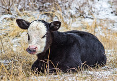 Baby Calf. A baby calf on the Montana prairie Royalty Free Stock Images