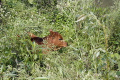 Baby calf in the woods Stock Photo
