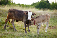 Baby calves playing in the field Stock Photo