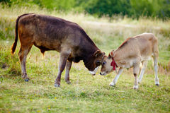 Baby calves playing in the field Royalty Free Stock Photo