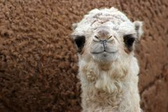 Baby Camel. Royalty Free Stock Image