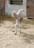 Baby Camel. Closeup of a Baby Camel one day old Royalty Free Stock Images