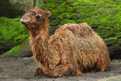 Baby Camel Stock Photography