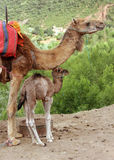 Baby camel Stock Image