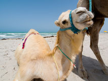 Baby camel. On Tunisian beach Stock Image