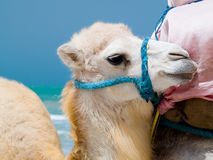 Baby camel. Portrait of baby camel on the beach Stock Image